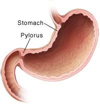 Cross section of normal stomach.